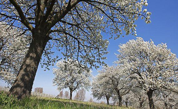 X71C0Y wild cherry, sweet cherry, gean, mazzard (Prunus avium), flowering fruit tree orchard, Belgium, Limburg